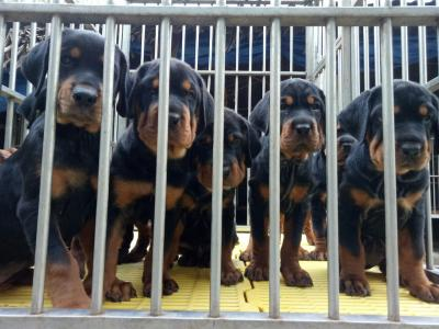 Bầy Rottweiler thuần chủng 2/11/2019